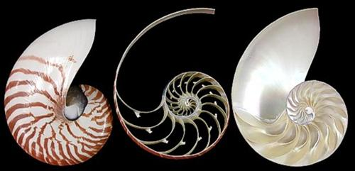 Tiger Nautilus shell 3 section cut