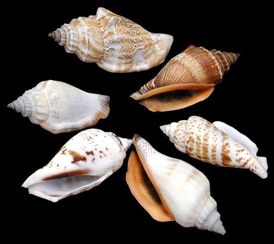 Brown Chullas Shells 9/27/13