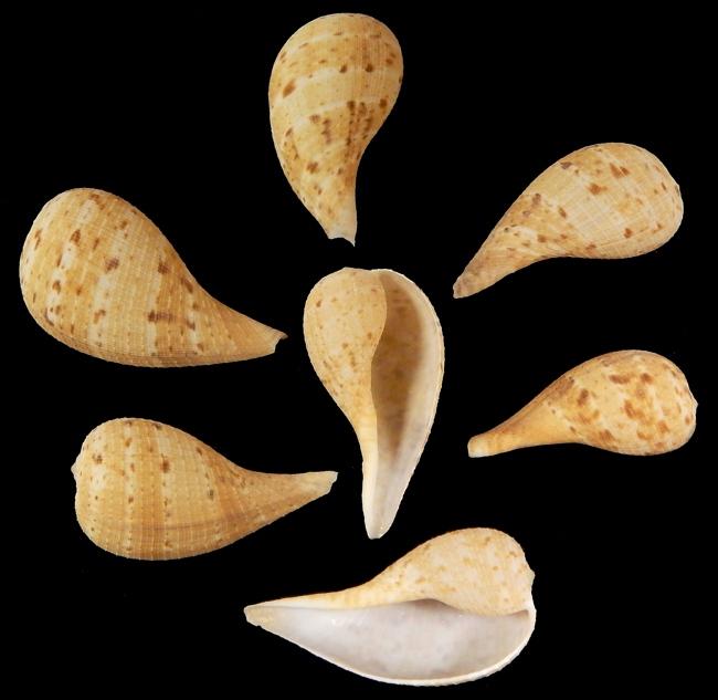 C2-7 Fig Shells   10/23/13