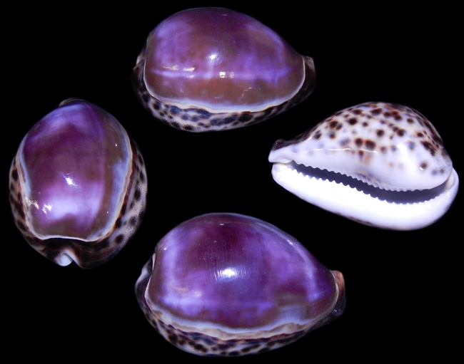 jo-7 Purple Top Tiger Cowry   10/8/13