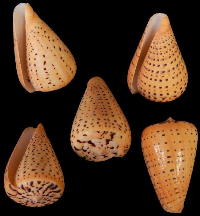Conus Bitulius   9/29/13