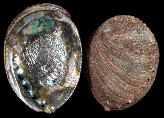 Abalone Shells Variety Best Pricing And Quality