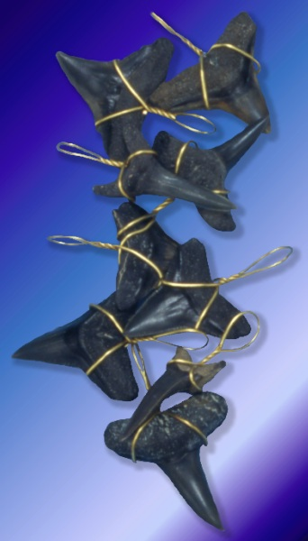 Ancient Shark Teeth H1-21