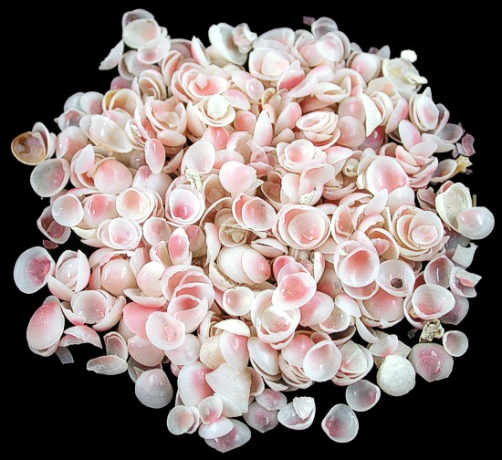 Apple Blossom Shells