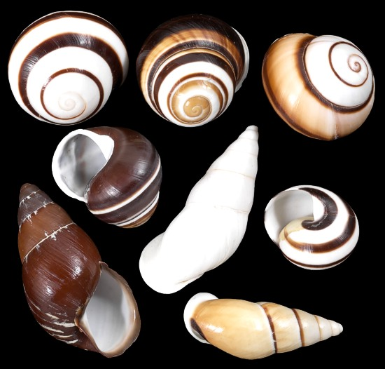 Assorted Land Snails