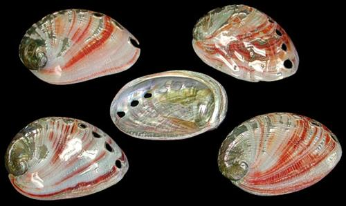 Baby Red Abalones Polished 1/14/13
