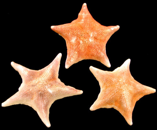 Bat Starfish