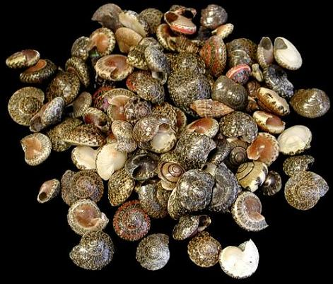Black Umbonium Shells