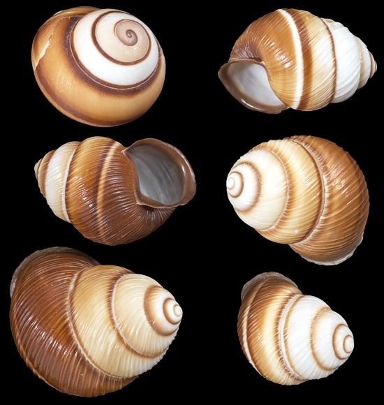 Brown Land Snails
