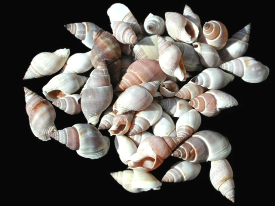 Brown Marginellas Shells