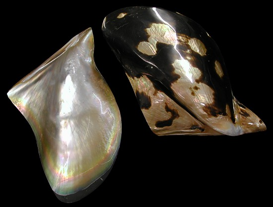 Brownlip Oyster Shell