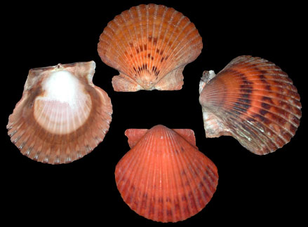 Calico Natural Color Scallops