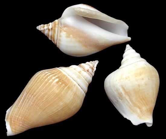 Canarium Shells  8/4/13