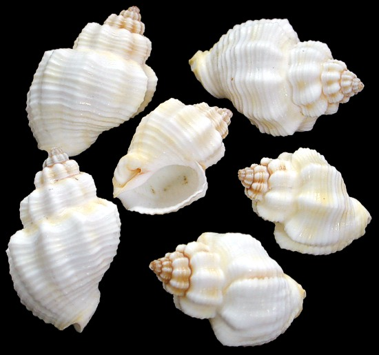 Cancellaria Shells  1/12/13  out