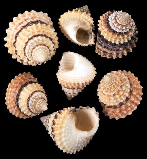 Candy Snail Shells