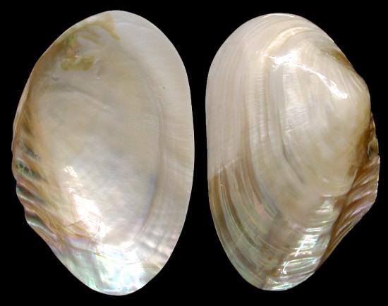 Cebu Clam Singles   9/27/13
