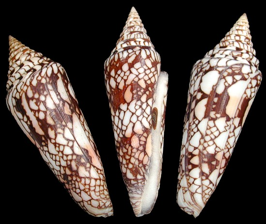Conus Milneedwardsi  9/29/13