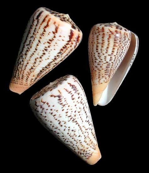 Conus Suratensis   9/29/13