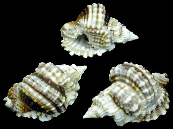 Distorsios Anus shell   10/17/13