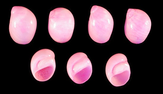 Dyed Pink Moon Shells   10/22/13