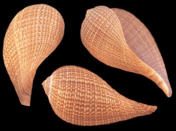 Fig Shells   10/23/13