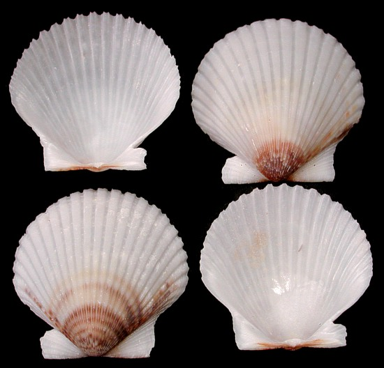 how to cook sea scallops in the shell