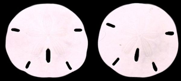 Florida Sand Dollars md