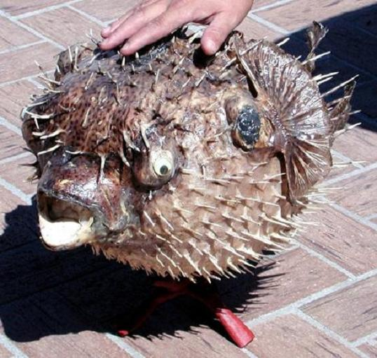 Giant Porcupine Fish