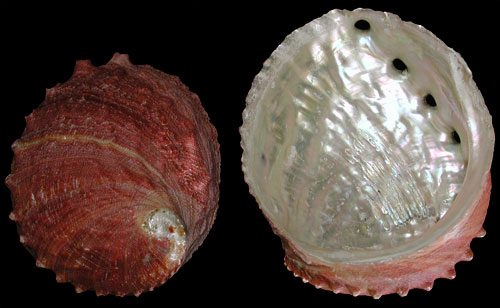 Giant Red Abalone Natural