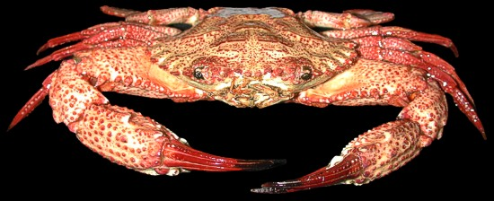 Giant Red Crab    10/8/13