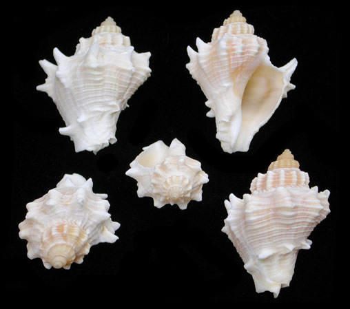 Golden Crown Conch Z1-8   9/29/13 not listed