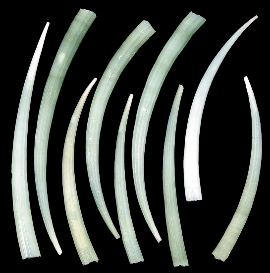 Green Tusk Shells  1/1/13