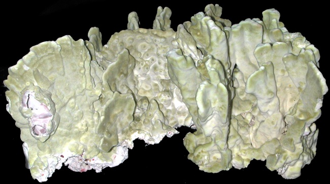 Green Fire Coral