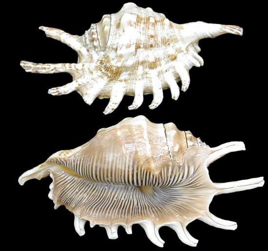 Lambis Milipeda Conch