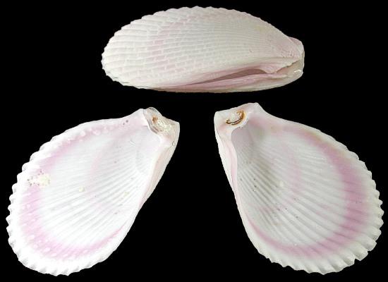 Lima Lima Shells