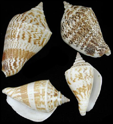 Marginatus Shell