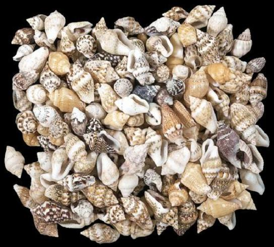 Mixed Nassa Shells