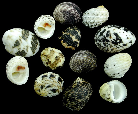 Mixed Nerite Shells