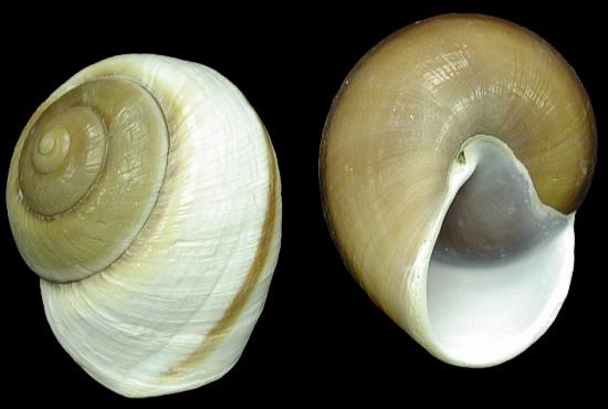 Muffin Snails