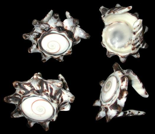 Murex Napkin Rings