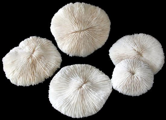 Mushroom Coral  10/7/13