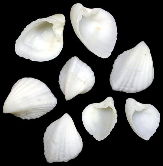 Natural Ark Shells