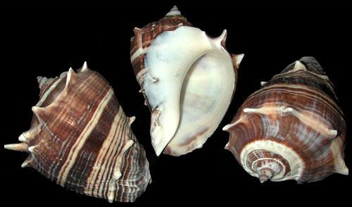 Natural Melongina Shell