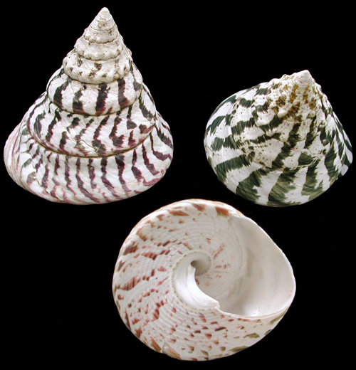 Natural Niloticus Shells