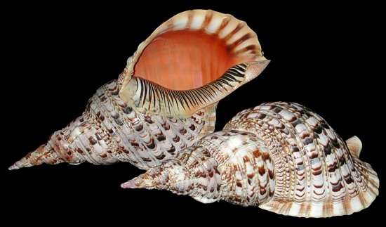 http://www.shells-of-aquarius.com/images/pacific-triton.jpg