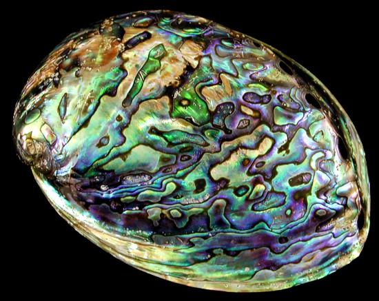 The Island Of The Blue Dolphins Rontu Abalone Shells variety...