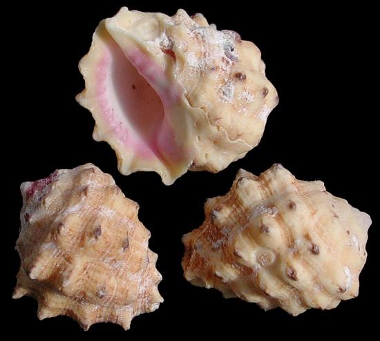 Pink Drupe Shells