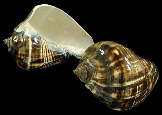 Polished Melongina Shell