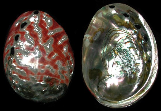 Polished Red Abalone