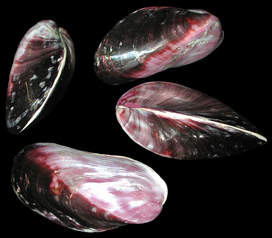 Purple Mussel Pairs Polished